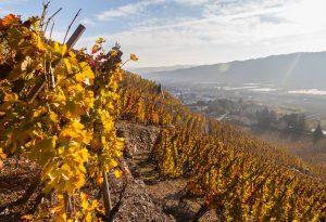 L'automne dans les vignes du Domaine E. Guigal
