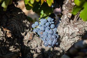 Nalys / Domaine E. Guigal -Vigne en été
