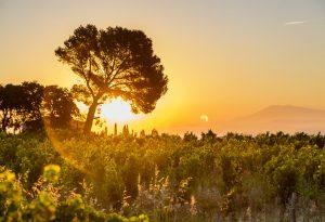 Nalys / Domaine E. Guigal -Lever de soleil dans les vignes en été